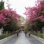 เรื่องเล่าจากเมืองเก่า คุนหมิง-ลี่เจียง-แชงกรีล่า EP1 : ซากุระบานที่คุนหมิง